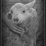 My Dearie Had A Little Lamb, Little Lamb, Little Lamb
