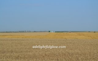 The Wheat Harvest Continues