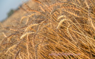 From The Harvest Field