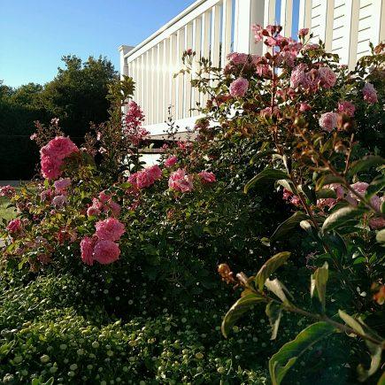 roses-in-september