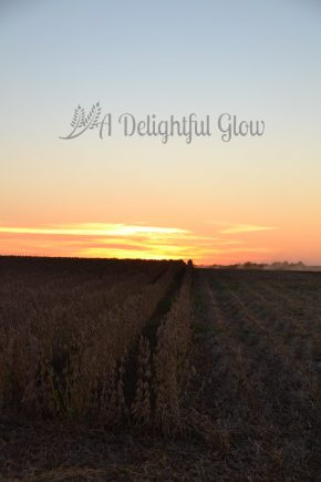 sunset-at-the-bean-field-3
