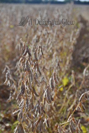 soybean-harvest-2016-4